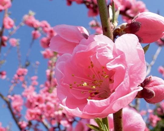使用广角镜头,大光圈仰拍单朵桃花,使得主体极为突出