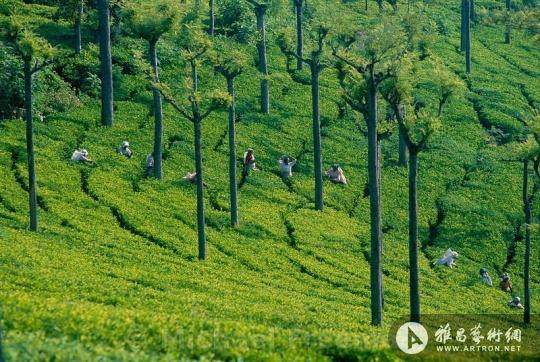 腾冲风景涩梨树茶叶
