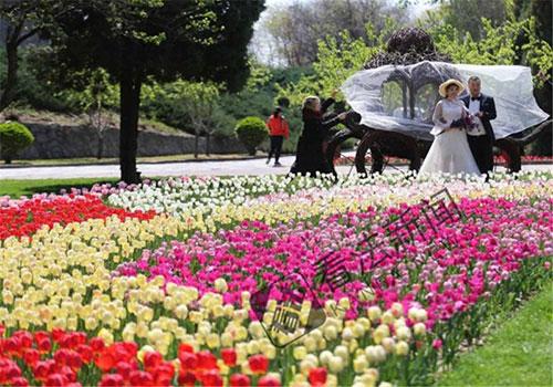 公园郁金香盛开 影楼双休日两天拍200对婚纱照