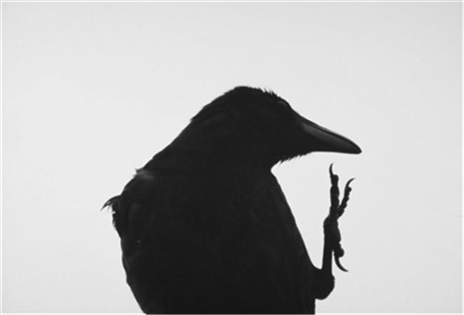 他一直拍乌鸦 自己也变成了一只鸦